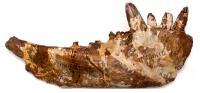 Челюсть пермского ящера Эстемменозуха