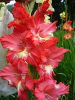 """Gladiolus x hybridus """"Гамма"""""""