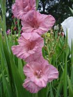 "Gladiolus x hybridus ""Шоколадница"""