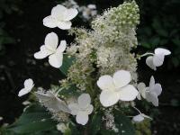 Hydrangea paniculata cv. Kiuschu