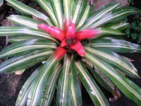 Neoregelia corolinea f. Tricolor