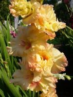 Gladiolus x hybridus «Майя Плисецкая»