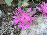 Centaurea marschalliana