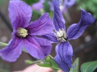 Clematis x hybrida cv. Hendersonii